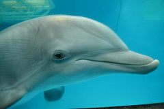 Clearwater, FL - Clearwater Marine Aquarium - Atlantic Bottlenose Dolphin - Hope