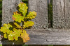 Autumn Oak Tree Leaves On Ancient Fence.Close-Up