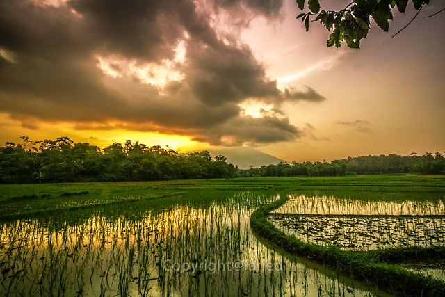 rice fields, mountain and sunset