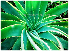 Fleshy, thick and triangular leaves of Aloe vera (Chinese/Indian Aloe, True Aloe, Barbados Aloe, Burn/Medicinal Aloe, First Aid Plant) are arranged in a rosette, 3 Nov 2017
