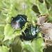 Blue Shieldbugs - Zicrona caerulea