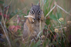 Least Chipmunk Chowing Down
