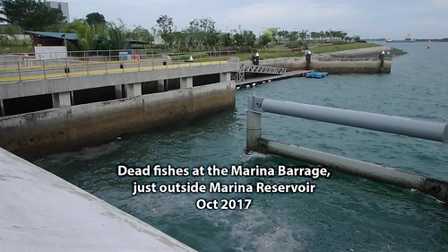 Dead fishes at the Marina Barrage, Oct 2017