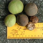 Aleurites moluccana fruit and seed