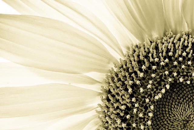 Sunflower (Essential)