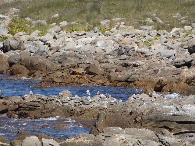 Gaviotas en la Ruta do Monte Tahume
