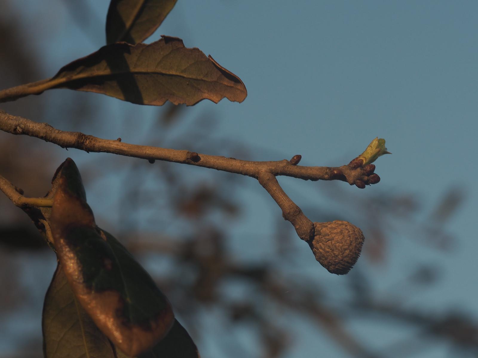 oak bud