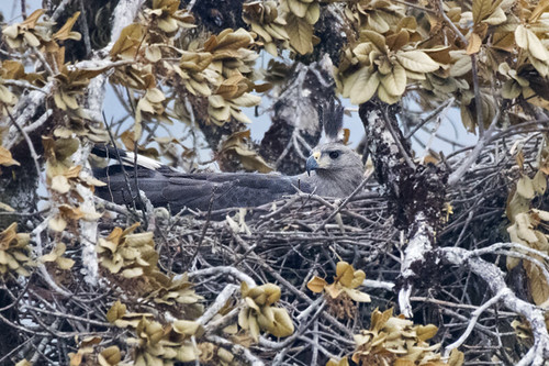 Brazil: Chaco Eagle in Nest
