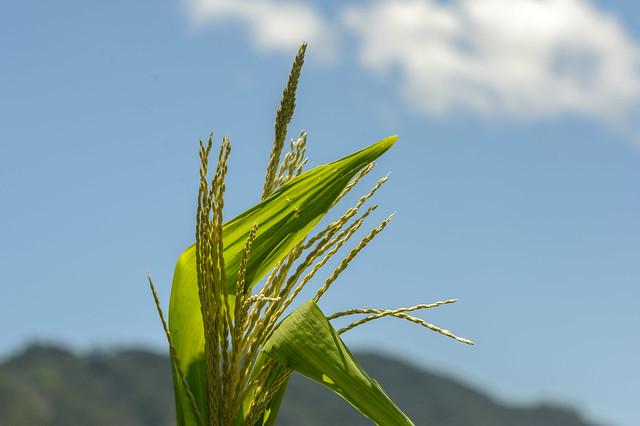 La flor de la maiz