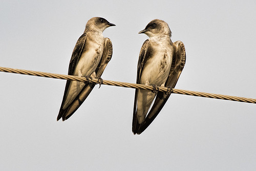 Pantanal: Southern Rough-winged Swallow 1