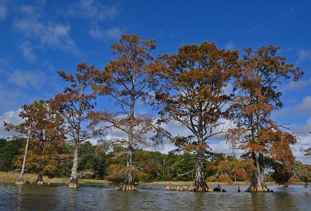 Chickahominy River  with Taxodium distichum (Bald Cypress) 10-7-17 (18)