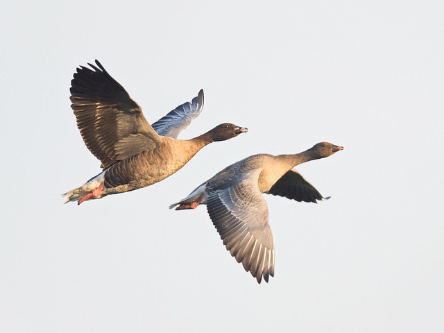 Pink-footed geese - in flight