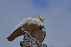 Sulphur - crested Cockatoos