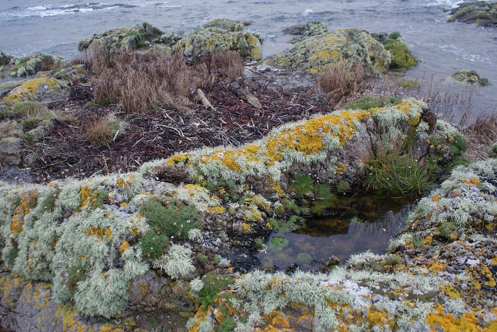 Lichens sur des rochers de l'île d'Arran.
