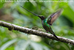 Sword-billed hummingbird Ensifera ensifera