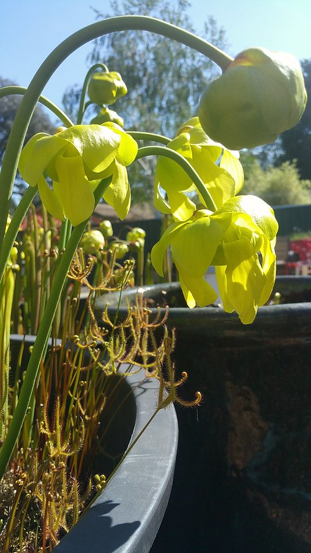 Sarracenia flava in flower with Drosera binata var. multifida (Blue Mountains clone), 2017