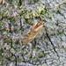 Valenzuela flavidus, Kingmoor Nature Reserve, 21 October 17