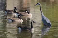 Great Blue Heron Fishing-25