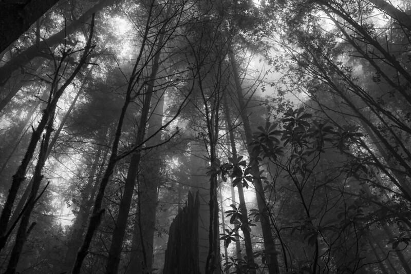 Redwood Jungle