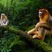 Qinling snub-nosed monkey by Marsel van Oosten