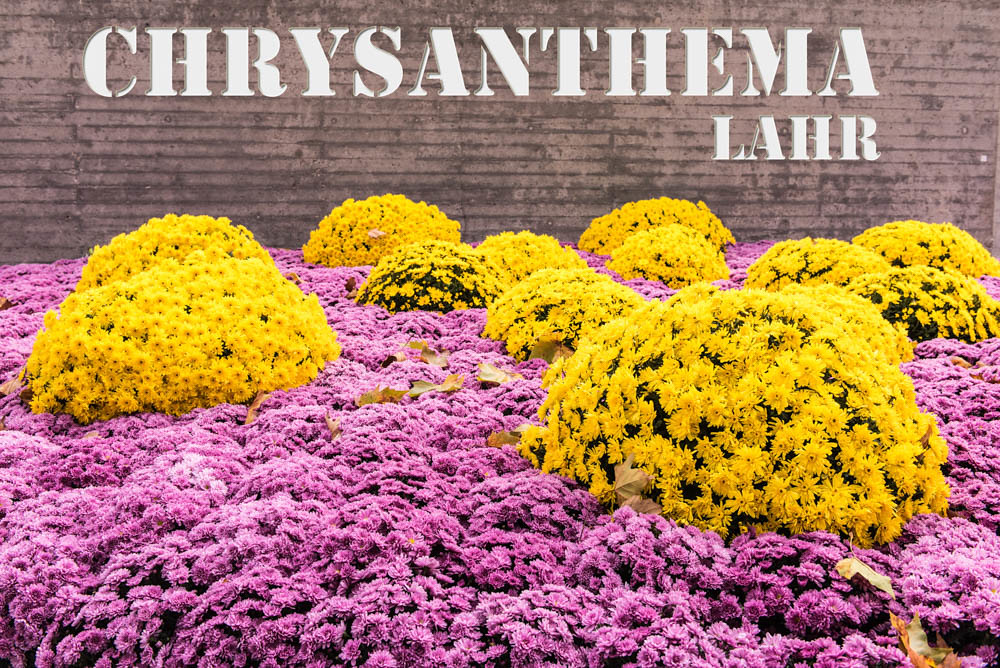 Chrysanthema Lahr