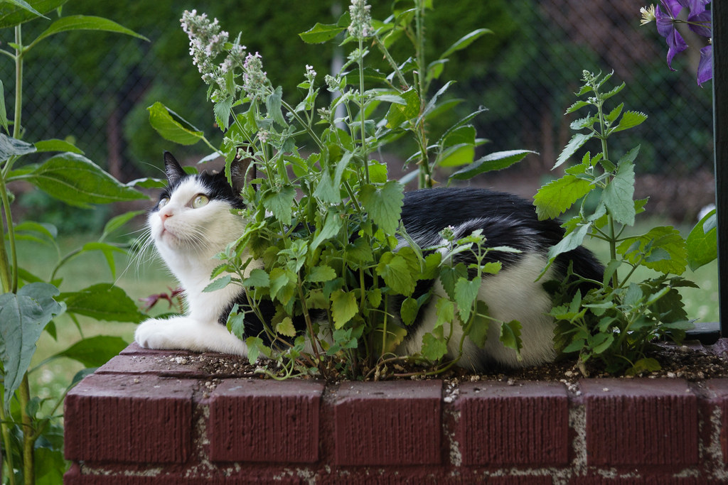 Our black-and-white cat Scout lays down in the catnip