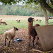 Sheep and Llama
