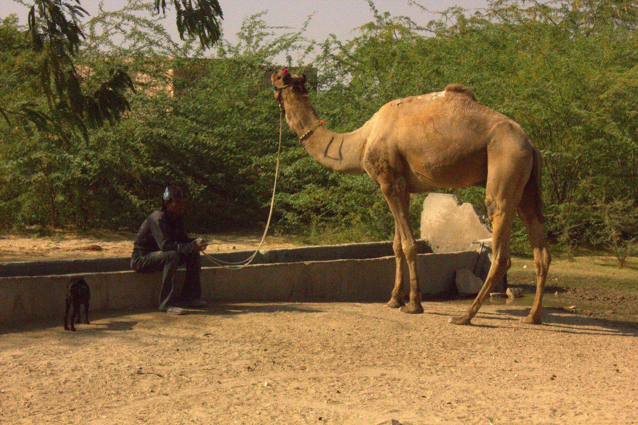 Camels at Salawas village