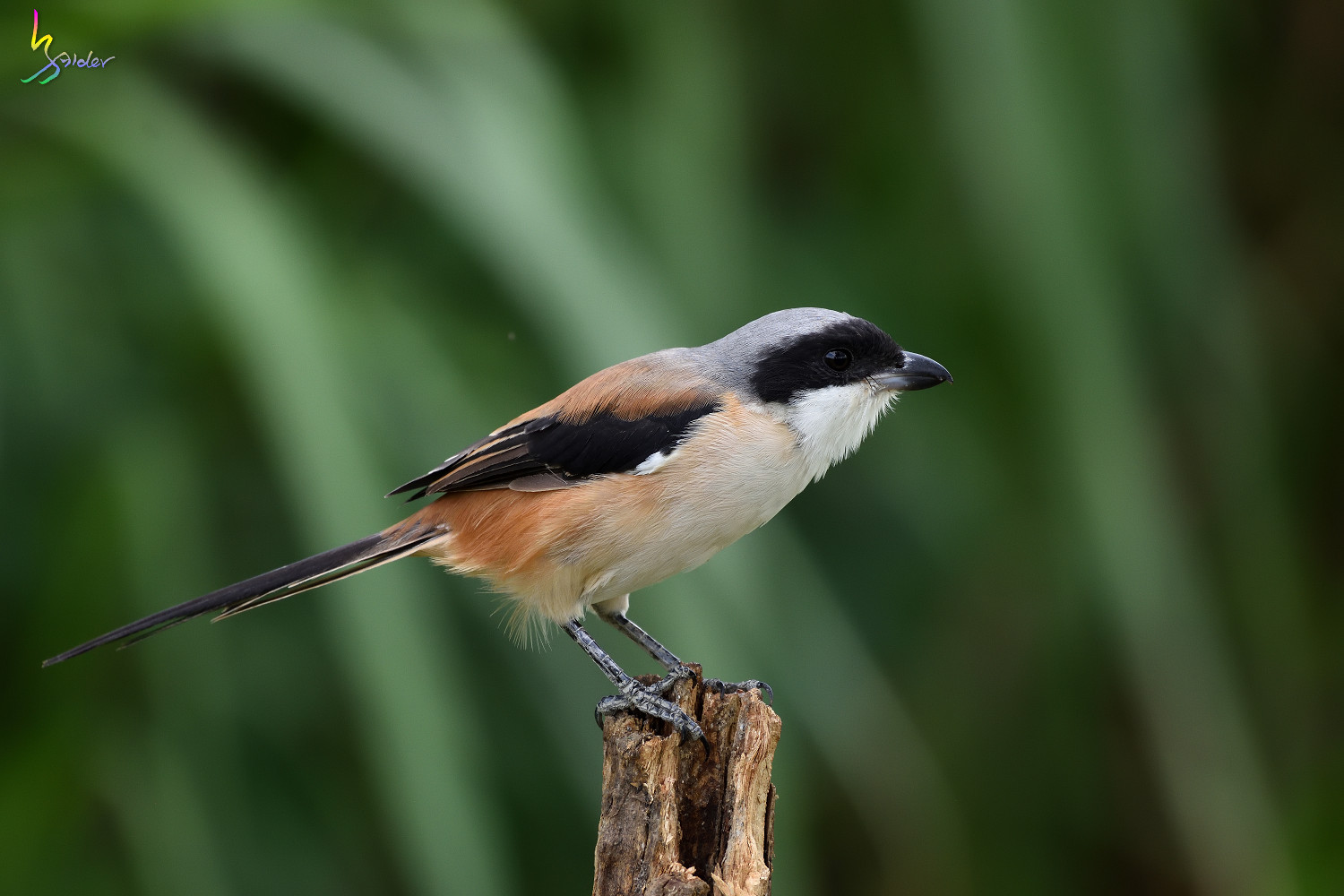 Long-tailed_Shrike_0760