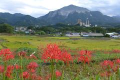 彼岸花が咲く秋の寺坂棚田と武甲山