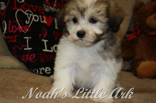 Sold Puppies in New Hampshire | Noah's Little Ark