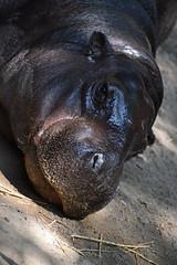 Pygmy hippopotamus Toronto zoo