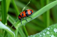 Raindrops on beetle