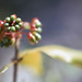 Small photo of Ochna fruits. Ochna fuzzy