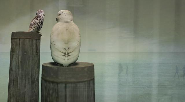 Snowowls at the sea