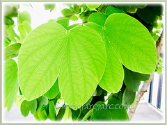 Captivating green and deeply 2-lobed leaves of Bauhinia purpurea (Orchid Tree, Purple Bauhinia, Butterfly Tree, Hawaiian/Purple Orchid Tree, Camel's Foot Tree), 22 Sept 2017