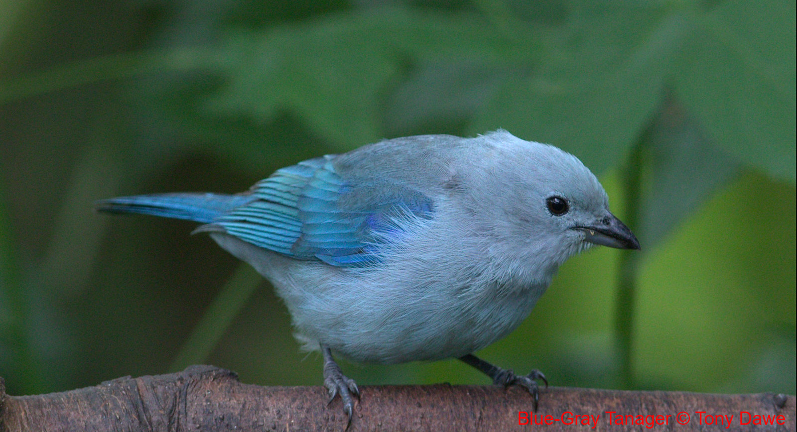 Blue-Gray Tanager-Thraupis EPISCOPUS