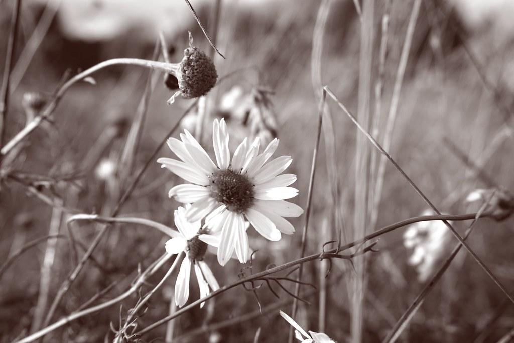 la dernière floraison