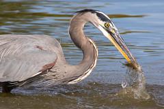 Great Blue Heron Fishing-35