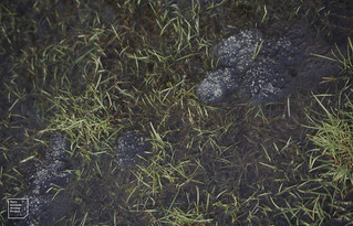 7 lots of frog spawn frozen. Gwaelod pond. February 1984