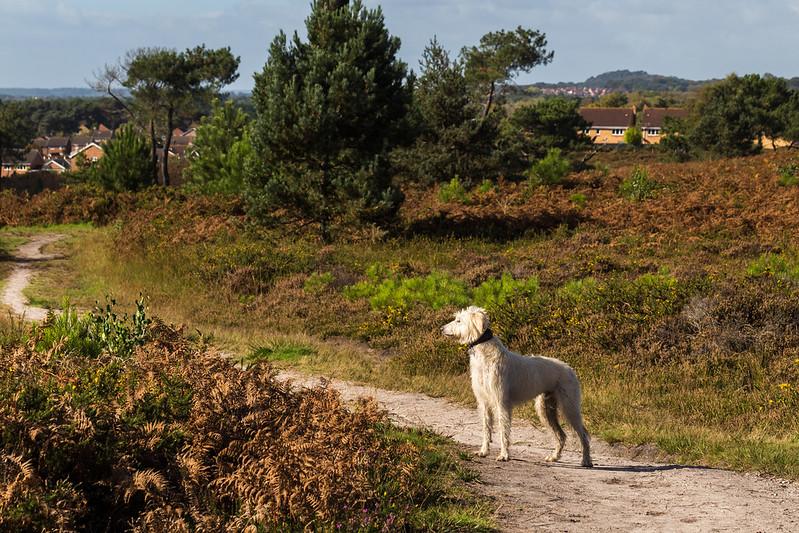 Teddy surveys the heath
