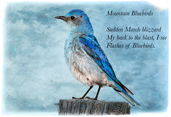 Mountain Bluebirds ~ Haiku