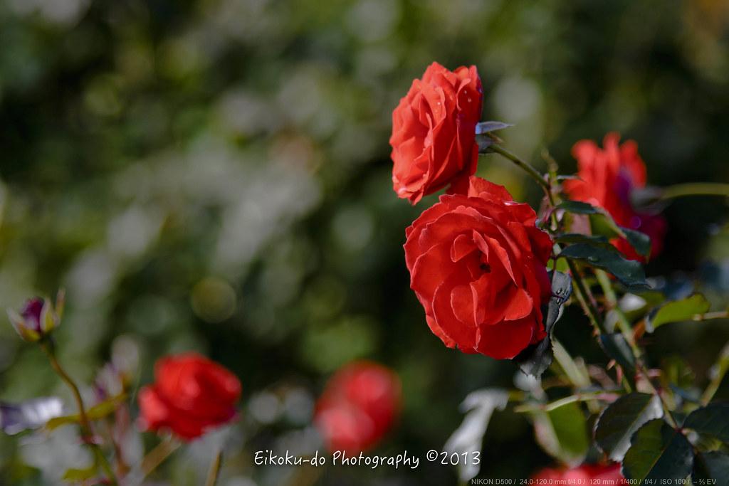 Keisei Rose Garden AutumnFair・Yachiyo-city