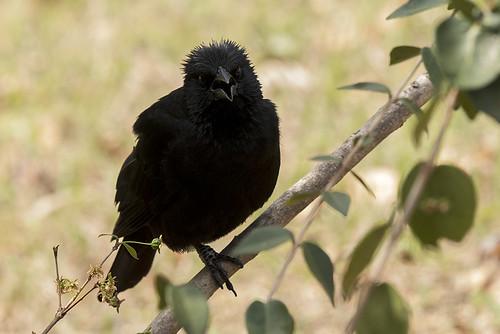 Chapada: Chopi Blackbird