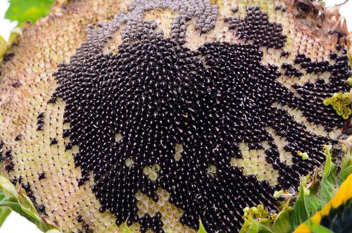 Half-seeded: sunflower