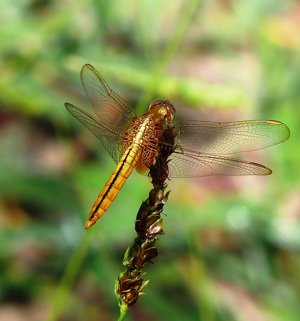 Ruddy Darter - Female