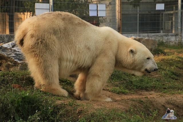 Eisbär Fiete im Sosto Zoo 30.09.2017 015