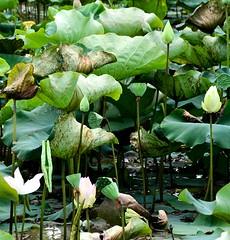 the lotus pond