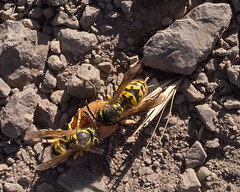Bees on Bernal Hill