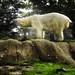 Melted Polar bear